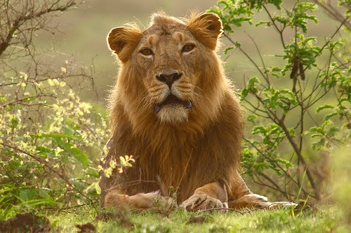 Asiatic_Lion_Persica_Indian_5