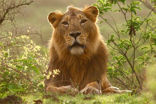 Asiatic_Lion_Persica_Indian_5