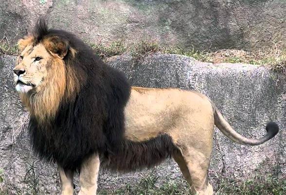 Barbary_lion-5